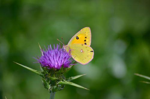 clouded yellow butterfly butterfly on flower butterfly enjoy nector