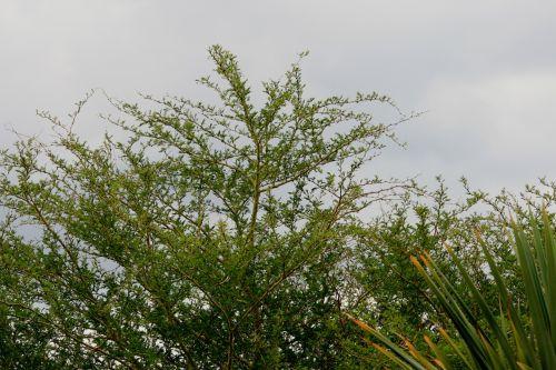 Cloudy Sky And Thorny Bush