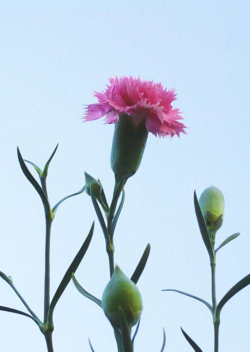 clove flower pink