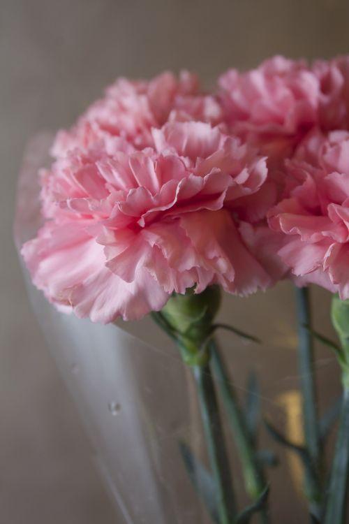 clove pink flowers