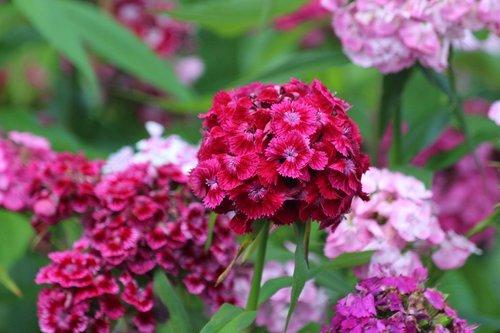 clove  dianthus barbatus  sweet-william