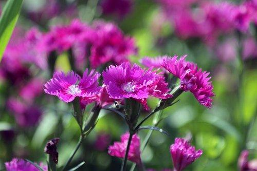 clove  flower  bloom