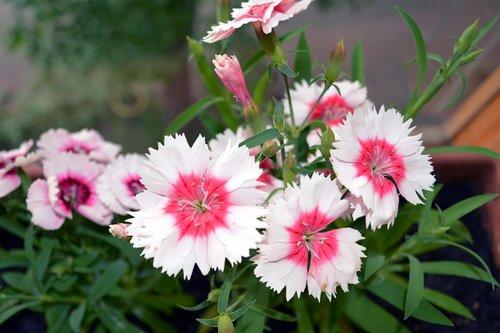 clove  flowers  bloom