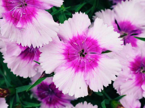 clove flower blooming