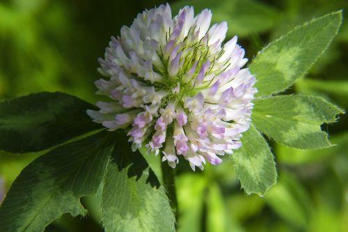 clover klee fodder plant
