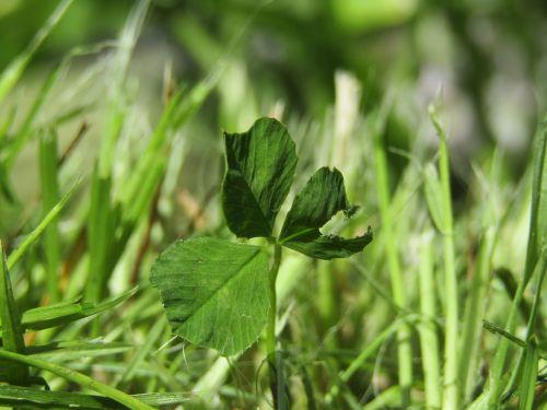 dobilas,žolė,žalias
