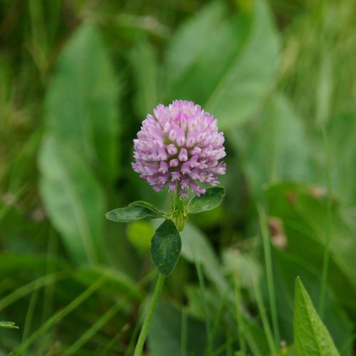 clover red clover herb