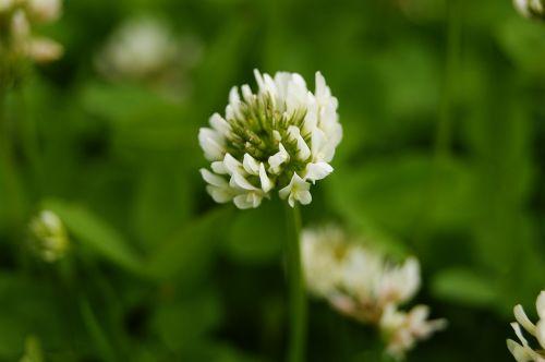 clover plant flower