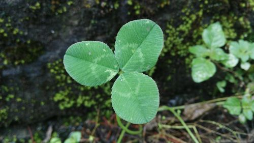 clover lonely stubborn growth