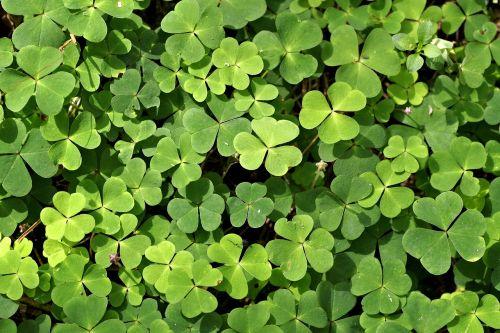 dobilas,žalias,laimė,Ieškoti,pieva,miškas,patrick,Airija,simbolis,augalas,gamta,Iš arti