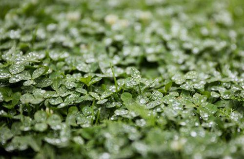 dobilas,liucerna,lietus,tiesiog pridėti vandens,liūtys,vanduo,po lietaus,augalas,žalias,gamta