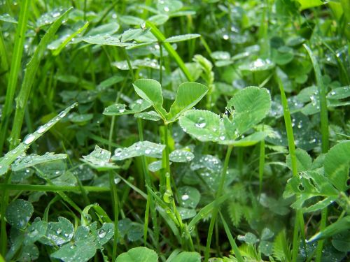 dobilas,rosa,pieva,žolė,žalias,lašai,lietus,ašmenys,natūralus,augalas,Iš arti