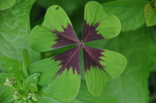 clover  four-leaf clover  chance