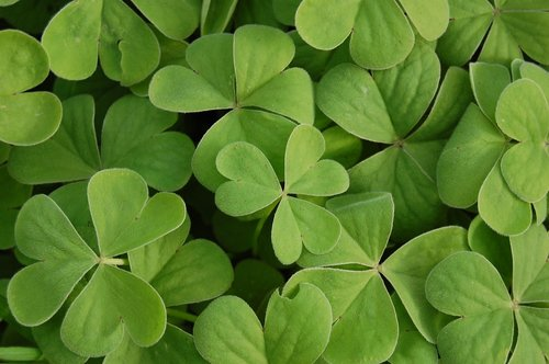 clover  green  plant