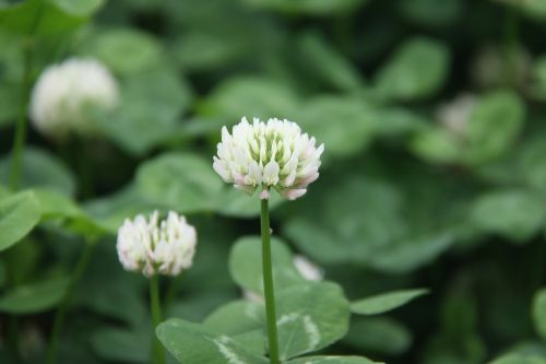 clover outdoor small fresh