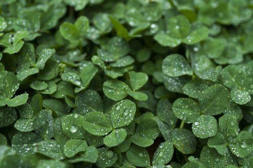 clover drop of water rain