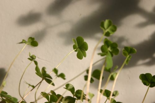 clover small fresh plant