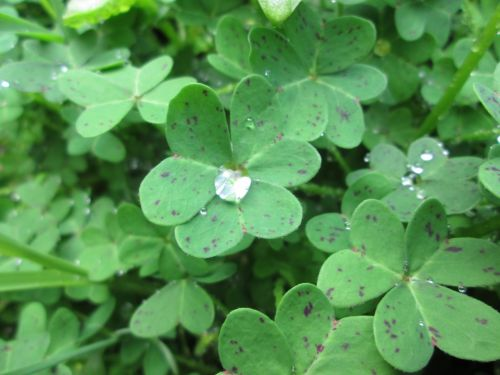 Clover With Droplet 3