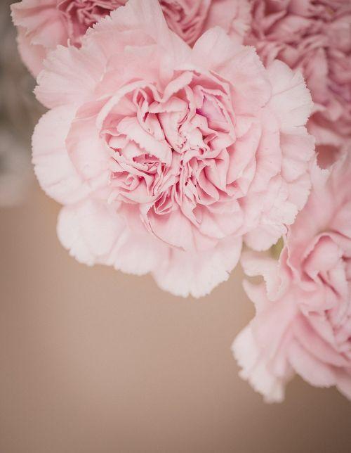 cloves flower pink