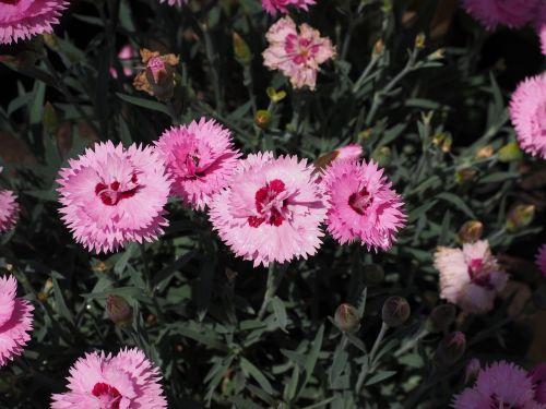 cloves pentecostal-carnation pinnate