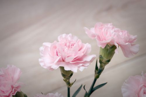 cloves pink carnation pink