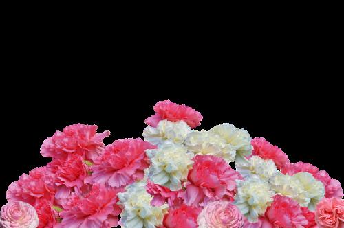 cloves flowers blossom