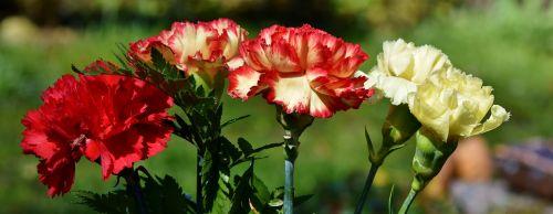 cloves flowers schnittblume