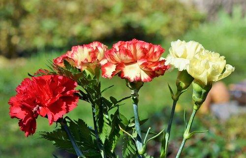 cloves  carnation bouquet  schnittblume