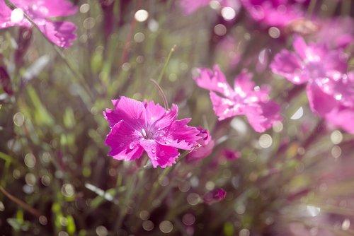 cloves  cushion flower  pink