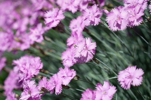 cloves  small cloves  cushion flower
