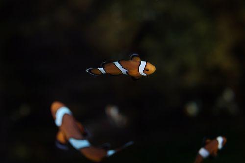 clown fish saltwater clown