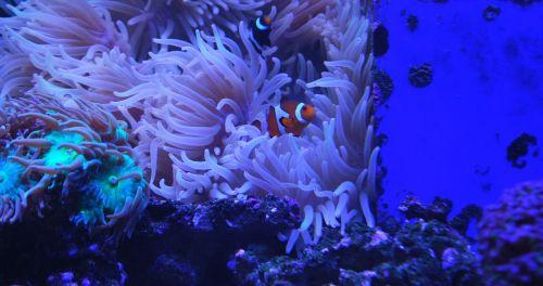 clown fish aquarium coral