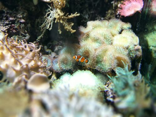 clown fish hellabrunn zoo
