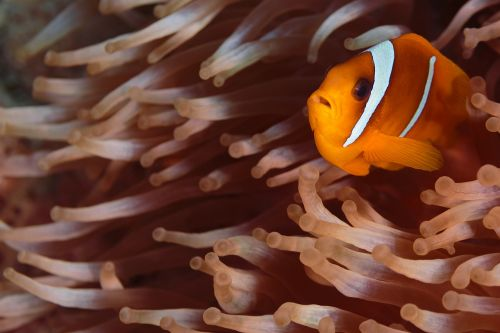 clown fish nemo underwater