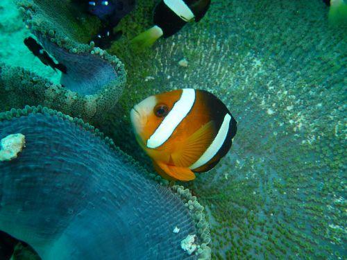 clown fish clown anemone