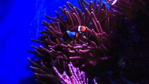 clown fish nemo anemone fish