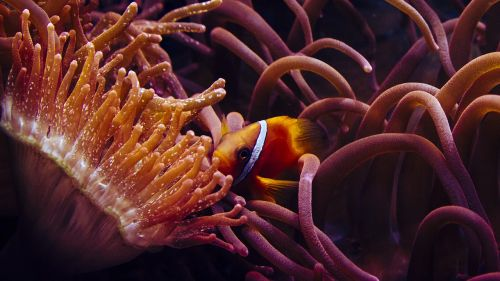 clown fish anemone fish the sea water aquarium