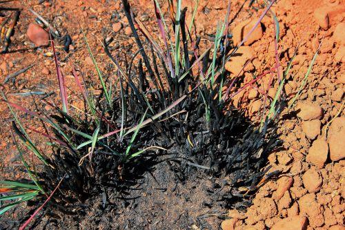 Clump Of Burnt Grass