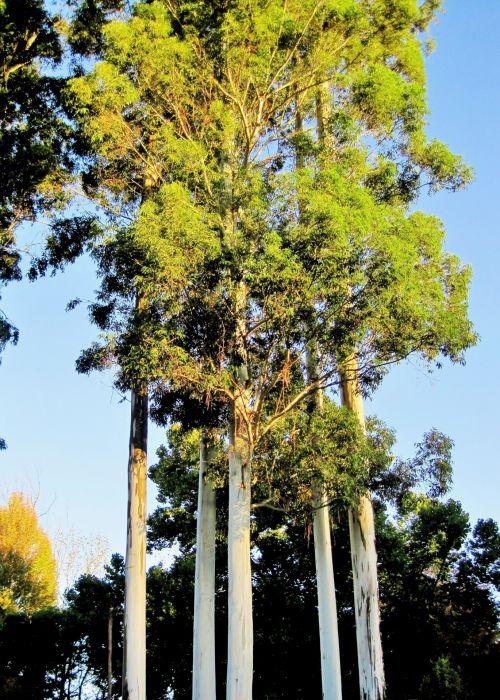 Clump Of Tall Eucalyptus Trees