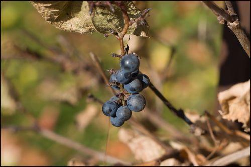 cluster red wine grapevine