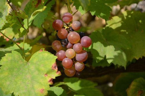 cluster grape grapes vines