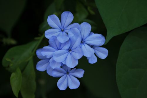 Cluster Of Blue Flowers