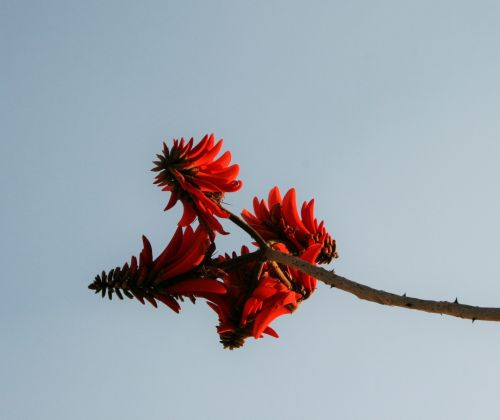 Cluster Of Coral Tree Flowers