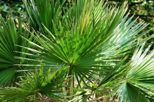 Cluster Of Fan Palm Leaves