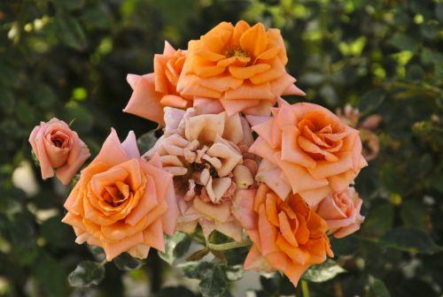 Cluster Of Orange Roses
