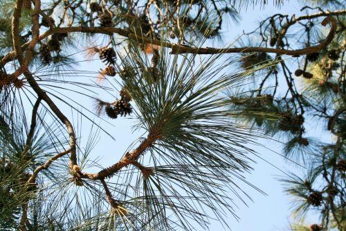 Cluster Of Pine Needles