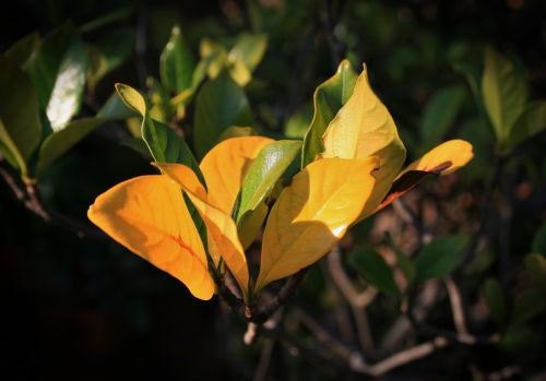 Cluster Of Yellow Gardenia Leaves