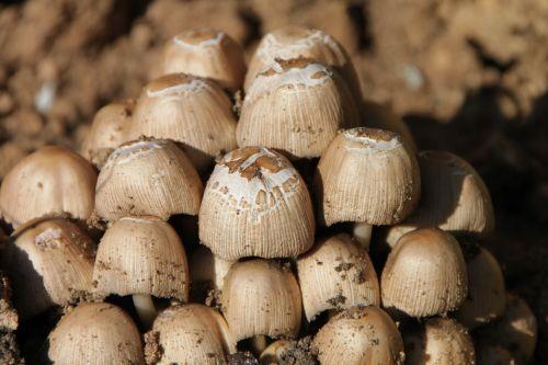 clusters coprinus fungus