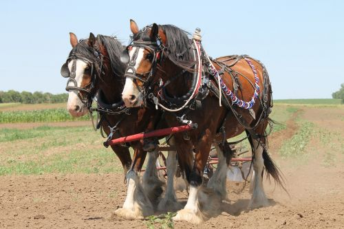 clydesdale plowing horse