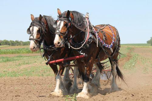 Clydesdale,arimas,arklys,Žemdirbystė,komanda,darbas,laukas,ūkis,arimas,vintage,projektas,projektas,pakinktai,taylor,šiaurės dakota